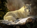 PAINTED WHITE WOLF