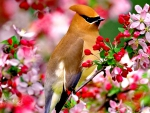 Pink flowers blossoming with cedar waxwing bird