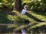 Snowy Egret F