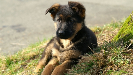 German Shepherd Puppy Dogs Animals Background Wallpapers On