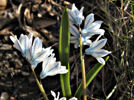 the tiniest flower - tiny, foilage, flowers, white, blue