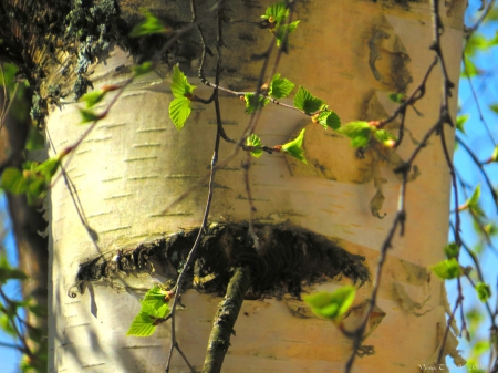 Birch - tree, sun, spring, leaf