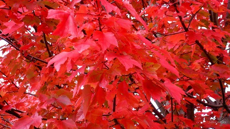 Abundance of Red - autumn, widescreen, washington, fall, red, leaves