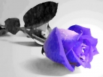 Purple and Black rose