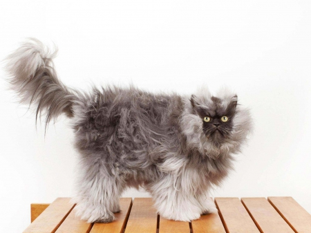 Colonel Meow - standing, camera, posing, before