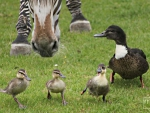 ducks, followed by zebra