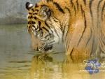 tiger, drinking