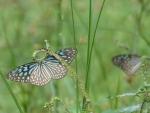ิkiss like a butterfly