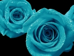 Blue Open Roses