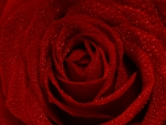 Red Open Rose