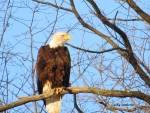 Ohio Farm Country Eagle