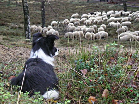 border collie - sheep, dazzle, dream, shepherds