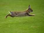 rabbit flees