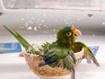 Parrot in Bowl