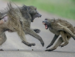 Aggressive baboons