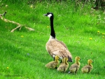 Mama Goose and Her Babies Not Listening