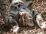 fishing cat(kitten)