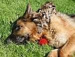 dog with cubs