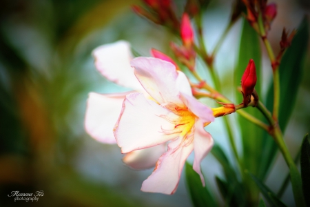Pink Oleander Bloom - flower, bloom, pink, oleander