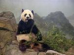Sitting on the rock_Giant panda