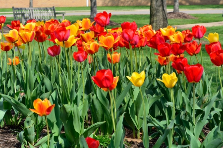 Pretty Flowers - yellow tulips, red tulips, red flowers, Pretty Flowers, tulips