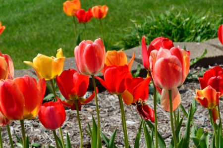 Spring Bloom - red tulips, spring flowers, tulips, may flowers, Spring Bloom