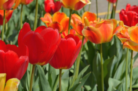 Spring Tulips - Spring Tulips, red tulips, spring flowers, red flowers, may flowers