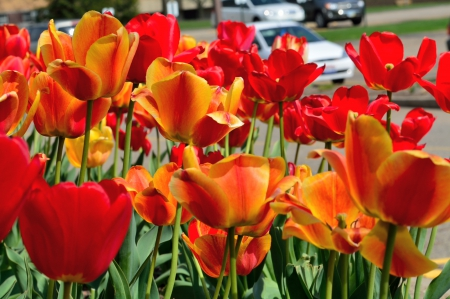 Beautiful Spring - spring flowers, red flowers, Beautiful Spring, tulips, may flowers