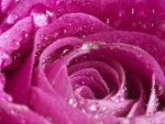 Pink Rose with Water Drops on it