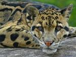 Beautifull wild cat