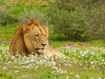 Peace full lion