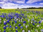 Texas bluebonnets festival