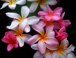 Frangipani Colors Bright
