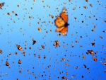 Migrating butterflies