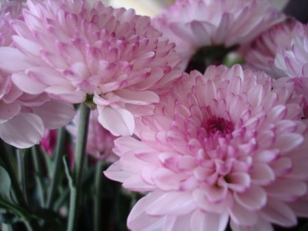 Chrysanthemums - pink flowers, soft, delicate pink, dahlias, pale pink, flowers, beauty, nature, pink dahlias