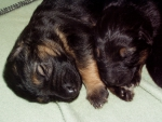 puppies,two weeks old