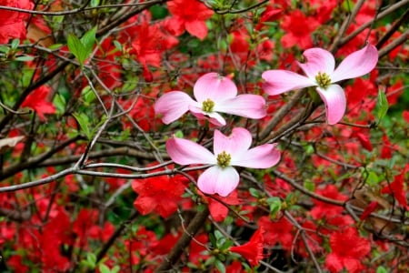 Pink and Red - Pink and Red, pink flowers, spring flowers, red flowers, spring bloom