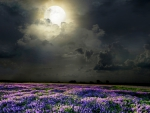 Field of lavender scented moonlight