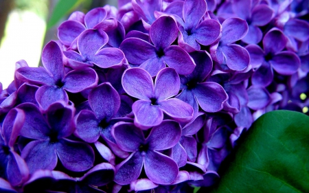 Dark Purple Lilacs Flowers Nature Background Wallpapers On
