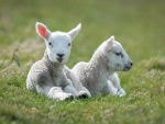 Lovely Lambs