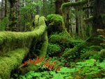 Rainforest, Olympic National Park