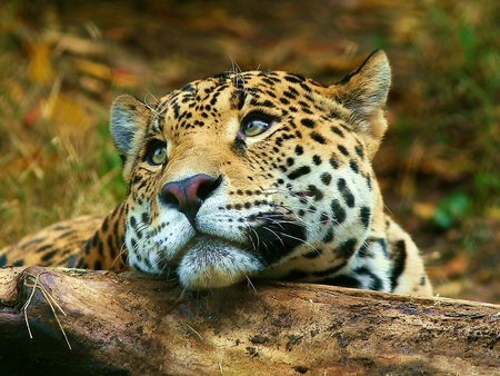 Daydreaming Leopard - leopard, log, daydreaming