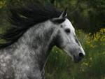 Hispano Arabian Stallion Close Up