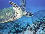 Flying Sea turtle