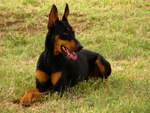dobermans rock!