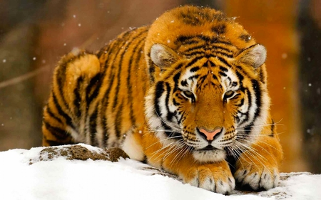 Tigre des neiges - widescreen, cat, tigres, cold, tigers, tiger, tigre, animal, beautiful, snow, orange, winter, animals, feline, wild
