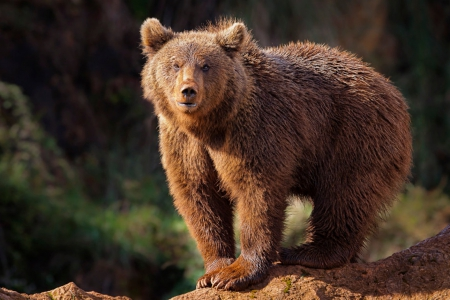 Brown bear - bear, wild life, brown, animal