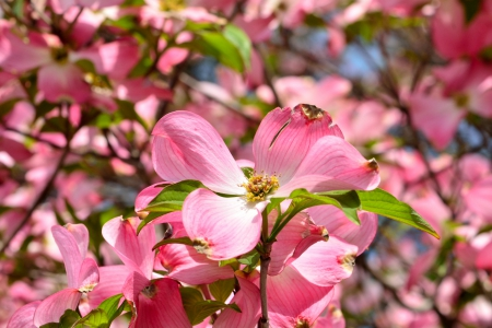 Spring Flowers - dogwood, pink flowers, Spring Flowers, pink dogwood