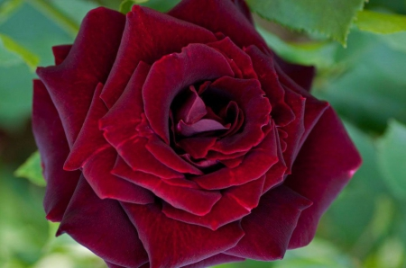 classic maroon rose flowers nature background wallpapers on