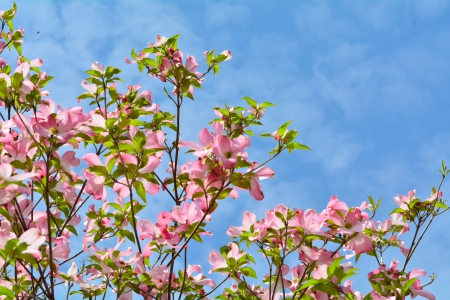 A Beautiful Spring Day - dogwood, pink flowers, pink dogwood, spring day, beautiful day, A Beautiful Spring Day